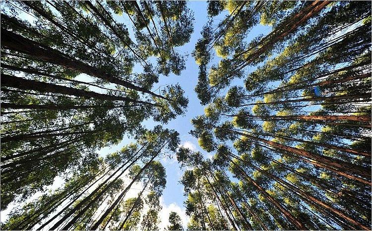 Produtividade a toda prova: Setor de florestas  enfrenta burocracia para expandir área
