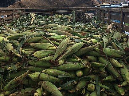 Boa safra de milho verde: carretas abarrotadas foram fila nas principais centrais de abastecimento baianas