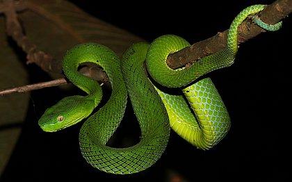Cobra criada ilegalmente corre risco de ser sacrificada no DF