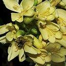 Andreadoxa flava Kallunki, a planta rara do Sul da Bahia