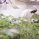 O uso medicinal da cannabis pode ajudar no tratamento de diversas doenças