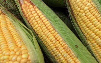 Mais de 75% do milho produzido no Brasil são direcionados para alimentação animal