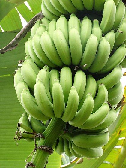 Fungo agressivo chega à América do Sul e ameaça bananas