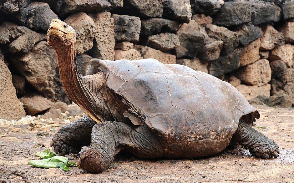 Diego, a tartaruga que transou tanto a ponto de salvar a espécie, se aposenta