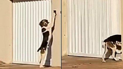 Cachorro é filmado tocando campainha para entrar em casa; assista