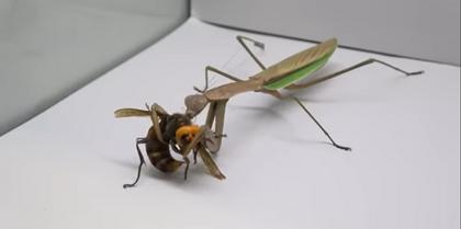 Só louva-a-deus na causa: vídeo mostra vespa assassina sendo devorada em segundos