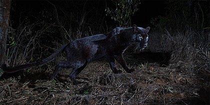 Pantera negra africana é fotografada pela primeira vez em um século