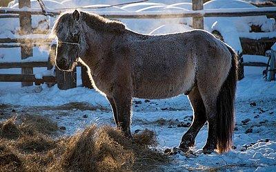 Cavalo siberiano da raça Yakutian come feno no povoado de Oy, cerca de 70 km ao sul de Yakutsk, sob a temperatura de menos 41 graus Celsius.