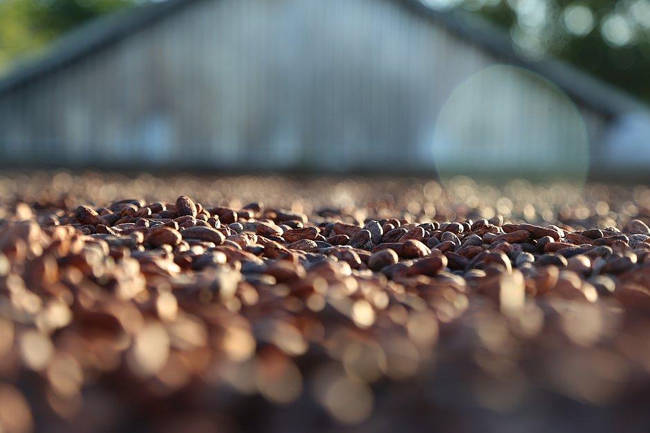 Beneficiamento do cacau aumenta em 220% faturamento de produtores rurais baianos