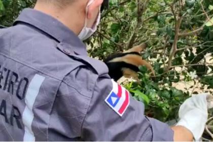 Perseguido por cães, tamanduá-mirim é resgatado pelo Corpo de Bombeiros