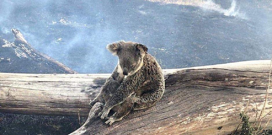 Um terço da população de coalas pode ter morrido durante incêndios na Austrália