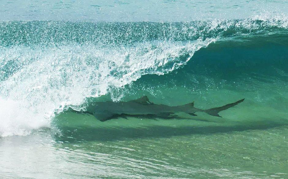 Tubarão na praia de Cacimba do Padre, em Noronha