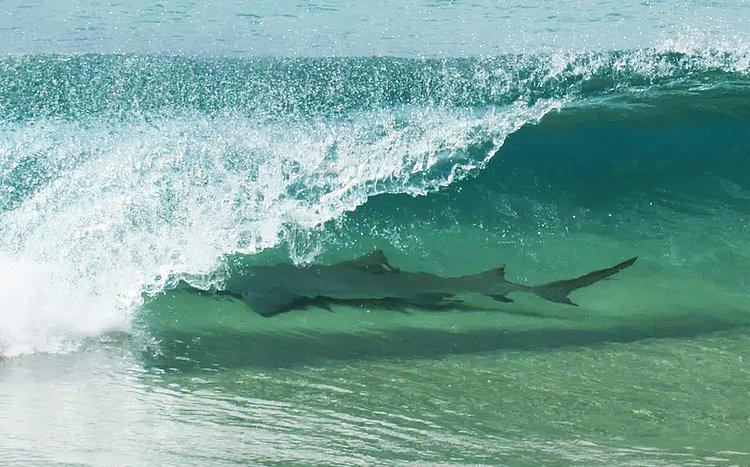 Tubarão é fotografado 'pegando onda' em praia de Fernando de Noronha