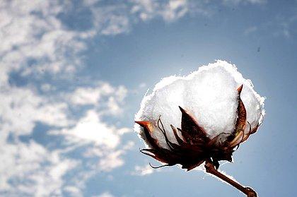 Rentabilidade do algodão é tema de congresso