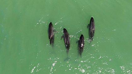 Visita inesperada: quatro orcas pigmeias encalham por 7h em praia de Porto Seguro