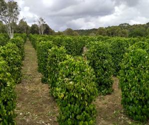 Plantação de pimenta-do-reino na Fazenda Três Barras, Valença, Baixo Sul da Bahia