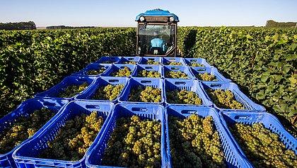 Chapada Diamantina produz uvas para vinhos com padrão internacional