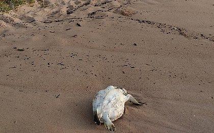 Tartaruga juvenil é encontrada morta na praia de Vilas do Atlântico