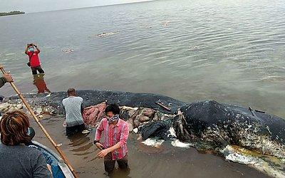 Baleia morta com quase seis quilogramas (13,2 lbs) de resíduos de plástico em seu estômago, no Parque Nacional de Wakatobi na província de Sulawesi. O animal ingeriu 115 copos, quatro garrafas, 25 sacos, dois flip-flops entre outros.