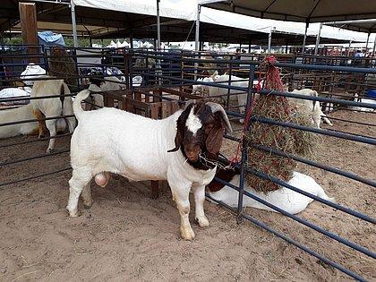 Exposição de animais ganha força na 20ª Edição da Expo Rural