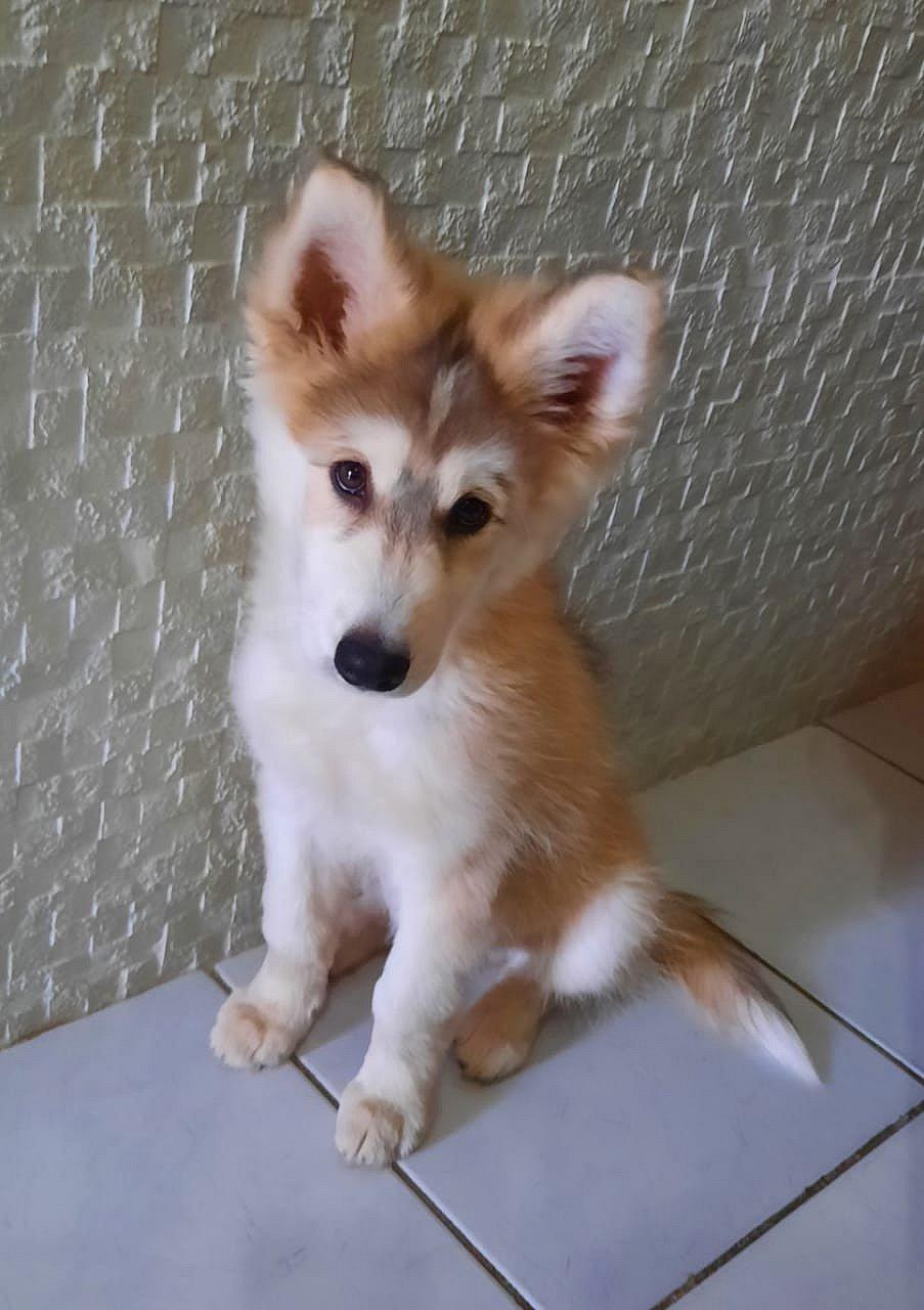 Dona de Husky Siberiano furtado precisa pagar para ter cachorro de volta em Porto Seguro