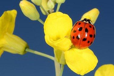 Guia prático da Embrapa ajuda a identificar insetos benéficos para as plantações, como as Joaninhas