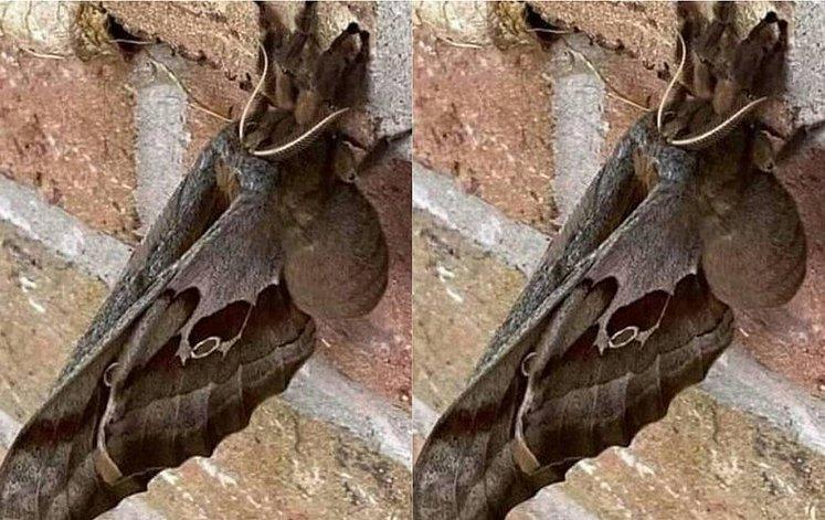 caranguejeira com asas