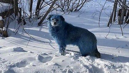 Cachorros com pelos azuis são vistos na Rússia, preocupando protetores