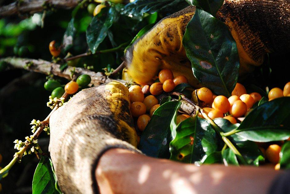 Brasil recebe Fórum Mundial de Café pela primeira vez