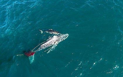 Tubarão é visto matando baleia pela primeira vez na história; veja vídeo
