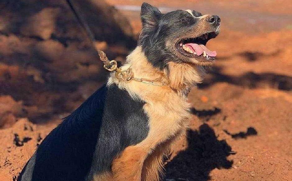 Morre Thor, cachorro que atuou nos resgates em Mariana e Brumadinho