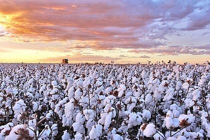 Produção baiana de algodão se destaca pela qualidade