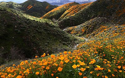 Campo de papoulas selvagens nas colinas de Walker Canyon, perto de Lake Elsinore, na Califórnia. As chuvas intensas deste inverno causaram a formação de uma super flores silvestres em várias localidades do estado.