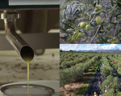 Azeite de oliva feito na Bahia ganha prêmio em concurso na França