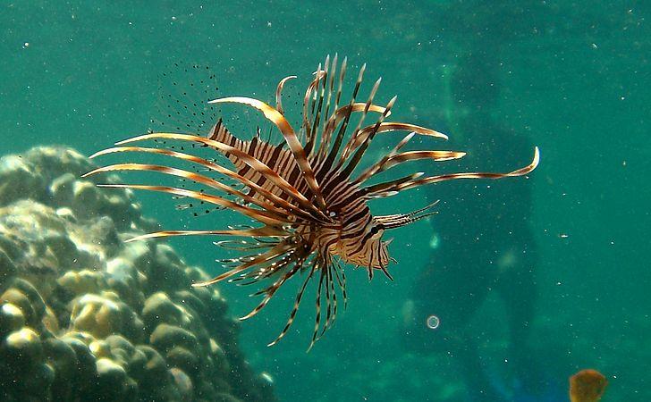 O mistério do peixe-leão: entenda os riscos do animal que pode ter chegado em Abrolhos