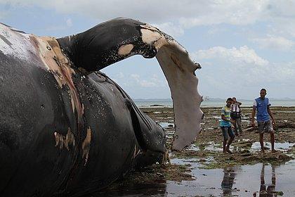 Por que tantas baleias encalharam no Brasil em 2017?