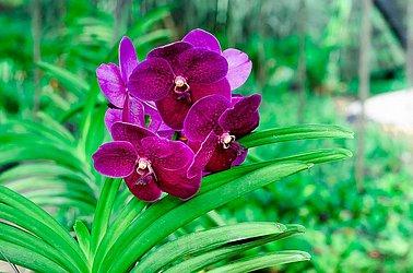 As Vandas são orquídeas exuberantes de raízes aparentes e suspensas.