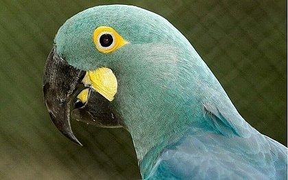 MP-BA recomenda suspensão da instalação de parque eólico perto de habitat de arara-azul-de-lear