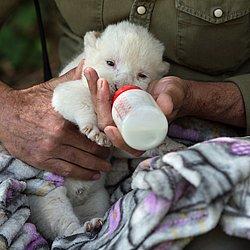 White King, o primeiro filhote de leão branco nascido na Espanha, é alimentado por cuidador do Reserva Guillena World Park, em Sevilha, em 10 de junho de 2020