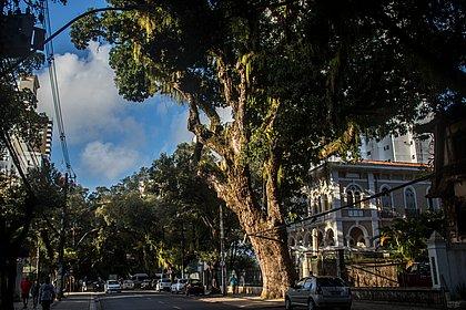 Mangueira do Corredor da Vitória foi a única árvore mantida na época da construção da Avenida Sete, em 1915