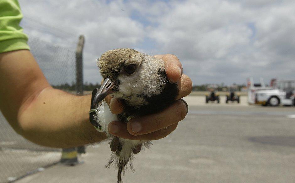 Funcionário mostra um filhote de quero-quero no Aeroporto de Salvador