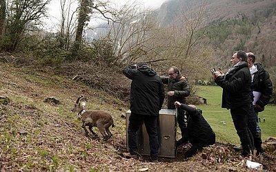 O ibex, uma espécie de bovídeo caprino, proveniente do parque Guadarrama, na Espanha, é solto no Parque Nacional dos Pirenéus, no vale de Aspe, nos Pirineus franceses. O animal havia desaparecido desde o início do século XX.
