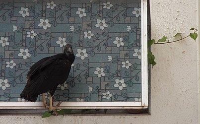 O urubu nervosinho na janela de um dos apartamentos do edifício Porto Sol, ontem