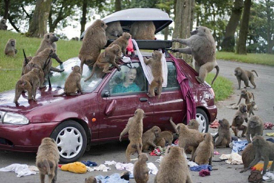 Macacos armados com facas e furadeiras atacam turistas na Inglaterra