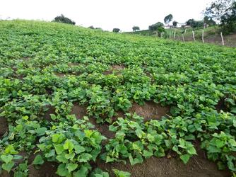 Agricultores de Maragogipe colhem até 3 safras de batata doce por ano.