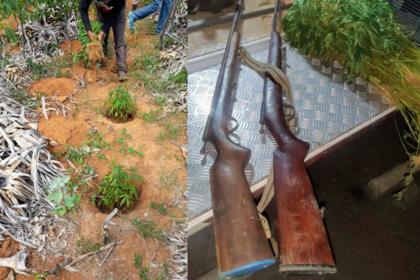 PM destrói 15 mil pés de maconha e prende seis pessoas em Campo Formoso