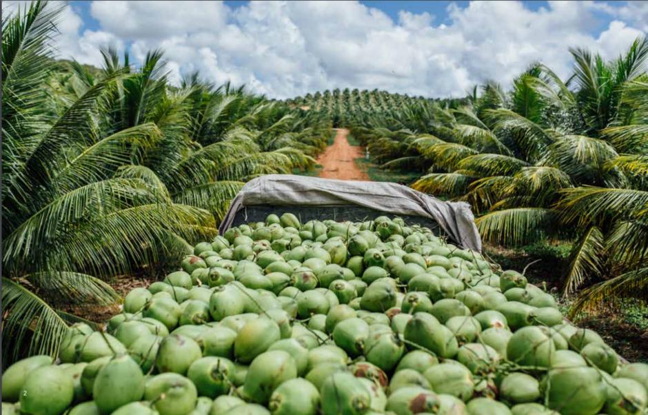 Fazendas da Obrigado chegam a produzir 90 milhões de cocos por ano