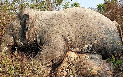 Elefante morto no nordeste de Mondul Kiri, no Camboja, numa reserva, com um tiro na cabeça e presas removidas