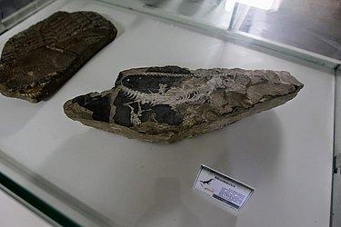 É possível ver um fóssil de dinossauro no Mugeo