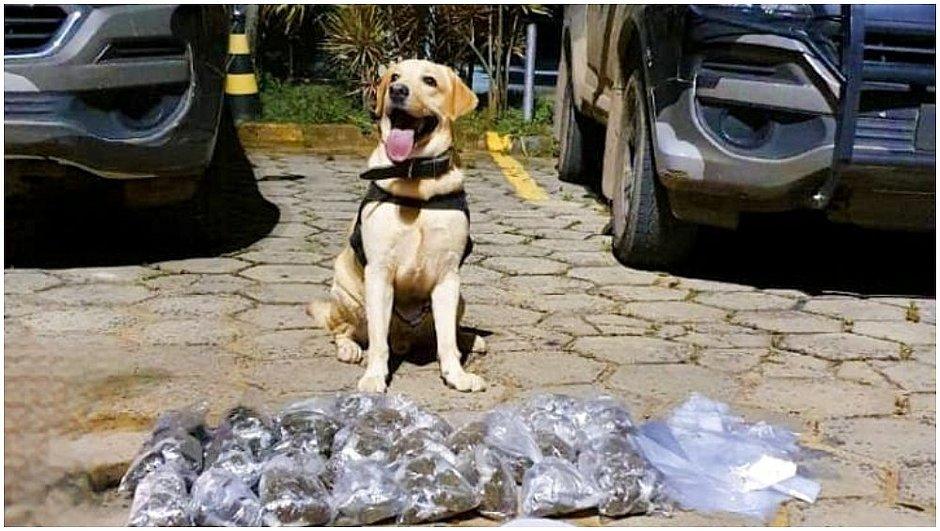 Cão farejador localiza 1.559 trouxas de maconha dentro de casa em Sussuarana